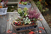 Autumnal arrangement of heather, ivy, wintergreen, skimmia and narcissus bulbs in trough on wooden garden table
