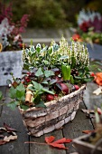 Autumnal arrangement of heather, ivy, wintergreen and hyacinth bulbs in basket on wooden garden table