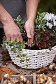 Making an autumnal arrangement in a basket with cyclamen, wintergreen, ivy and bulbs