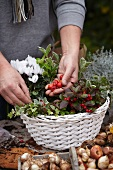 Making autumnal arrangement in basket with cyclamen, wintergreen, ivy and bulbs