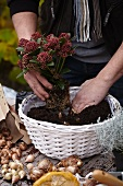 Creating an autumnal arrangement of narcissus bulbs and skimmia in a basket