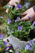 Planting violas in container