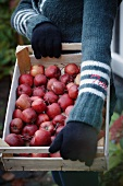 Frau hält eine Steige mit roten Äpfeln