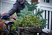 Fir branches and sprigs of mistletoe in bicycle basket