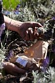 Planting hyacinth bulbs amongst lavender