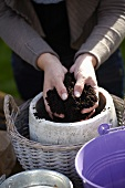 Planting bulbs in a pot