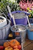 Bulbs planted in buckets and plant pots