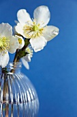 Hellebores in spherical vase against blue background