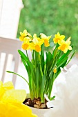 Potted yellow narcissus decorating Easter table