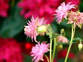 Common columbine (Aquilegia vulgaris 'Nora Barlow')