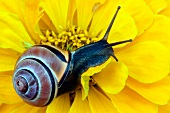 Snail on yellow zinnia bloom