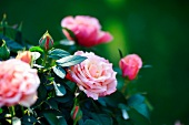 Flowering rose bush