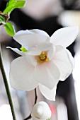 White flower and flower bud