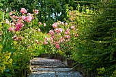 Blooming rose bushes alongside a sloping garden path in a Mediterranean setting