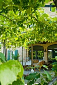Pergola covered with wild grapevines on the terrace in front of a Mediterranean house