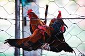 Cockerels perched on a pole behind fine chicken wire
