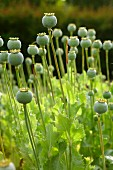 Field of poppy seed heads