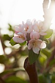 Delicate apple blossom on branch lit from behind