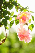 Delicate, pink flower of climbing rose ('New Dawn') lit from behind by the sun