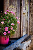 Flower pot with pink daisies on an old window sill
