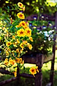 Yellow petunias in full bloom in a garden