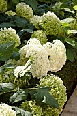 White hydrangeas in full bloom