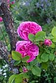 Bourbon-Rose (Historische Rosen)