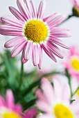 Cape daisy (Osteospermum spec.)