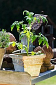Tomato plant in a terra cotta pot on a metal surface