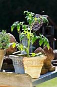 Tomatenpflanze in Terrakottatopf auf Ablage aus Metall