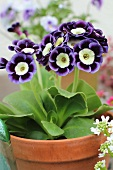 Auricula in a plant pot