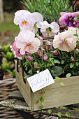 Pansies in a wooden box on a garden chair