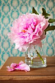 Magnificent pink peony in drinking glass with etched floral design standing on a dark wooden tabletop in front of pale blue patterned wallpaper; dropped petals complete the composition