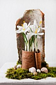 Arrangement of white crocuses in piece of bark on bed of moss in front of roof tile fragment