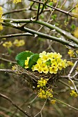 Primroses in bird's nest in thicket (of dog rose and flowering cornelian cherry)
