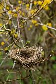 Empty bird's nest in thicket of dog rose and flowering cornelian cherry