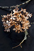 Dried hydrangea and twig covered in lichen