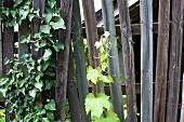 Kletterpflanzen an einem Holzzaun im Garten