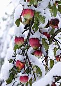 Rote Äpfel auf schneebedecktem Baum
