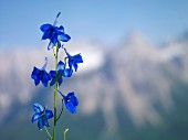 Blue Alpine columbine