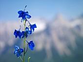 Blaue Alpen-Akelei