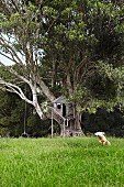 Treehouse in old fig tree