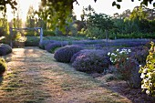 Shafts of sunlight in field of lavender