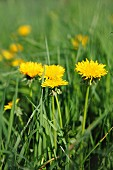 Dandelion flowers in the grass (close-up)