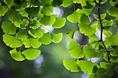 Delicate gingko leaves lit from behind