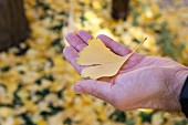 Masculine hand holding autumnal, yellow gingko leaf