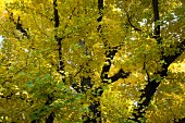 Gingko tree with yellow leaves