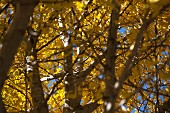 View through tangled branches of autumnal gingko tree