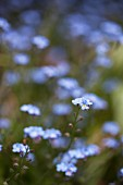 Forget-Me-Nots Growing Outdoors