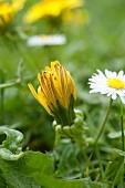 A dandelion in long grass
